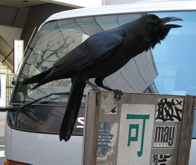 Cuervo en Japón