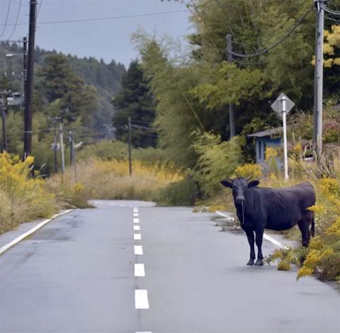 Vaca abandonada en Tomioka